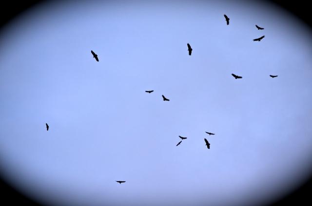 vulture vignette