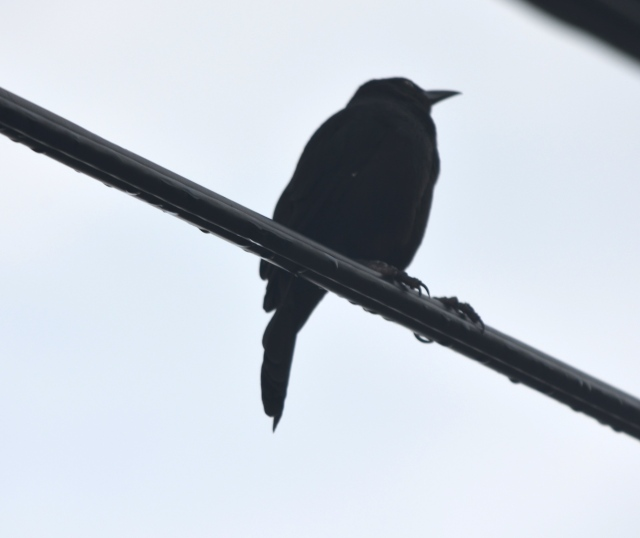 grackle black