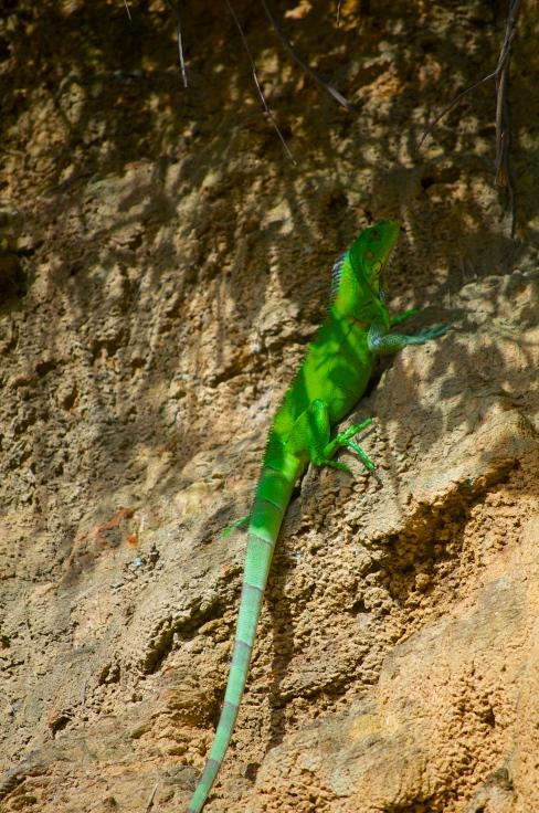 iguana running