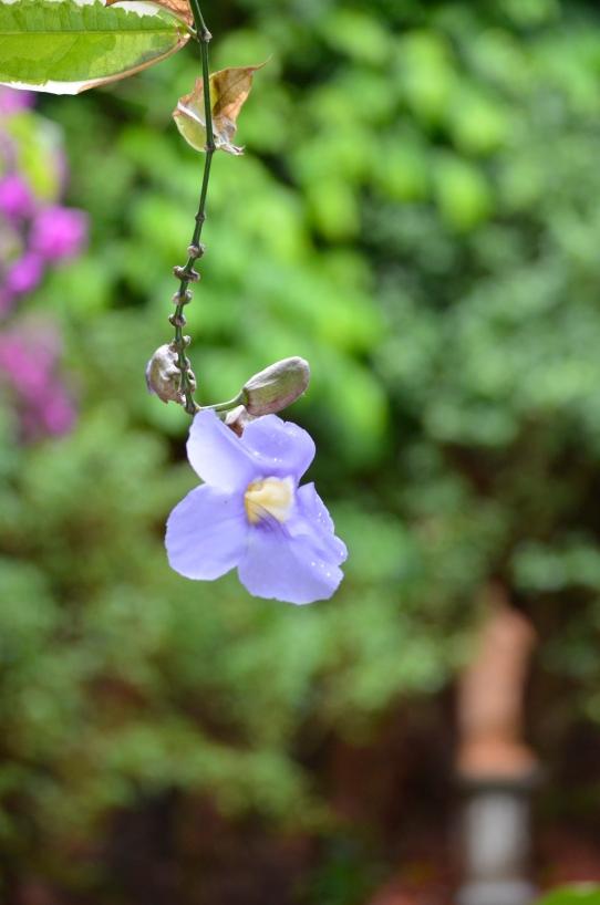 purple delicate